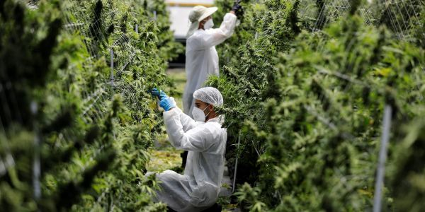 Penny stock Supreme Cannabis Company soars 60% on Canopy Growth merger