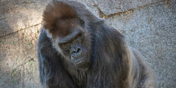 Gorillas at the San Diego Zoo are the first non-humans to be vaccinated against COVID-19