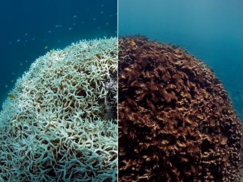 All coral reefs could die by the end of the century, new research shows. Before-and-after photos show what that would look like