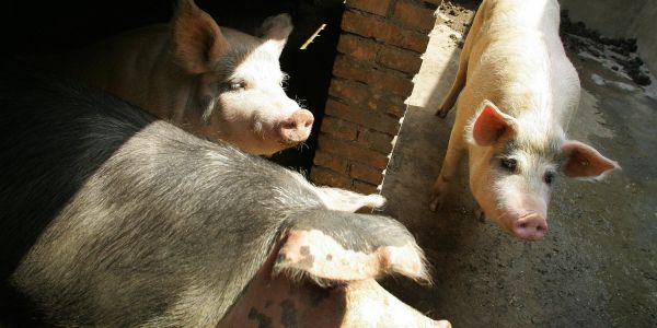 Hog futures in China tumble to record low amid fears of pork oversupply