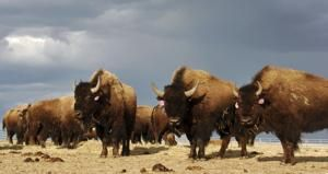 Governor drops bison plan, says he's protecting ranchers