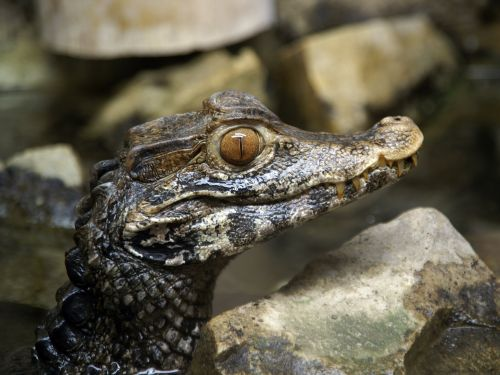 Endangered American crocodiles have found a surprising new home - outside a nuclear power plant